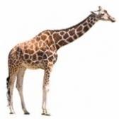 Самые высокие животные на земле