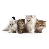 Кошки. Хармс Д.И.