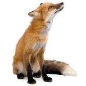 What am I? A fox!