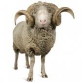 lammas - баран
