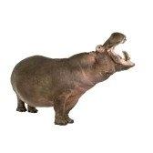 hippopotamus - бегемот