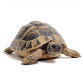 testuggine - черепаха