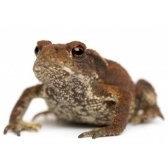 żaba - жаба