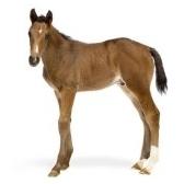 foal - жерёбёнок