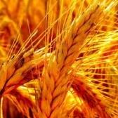 elo - жито