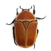 coleottero - жук