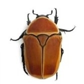 beetle - жук