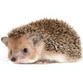 hedgehog - ёж