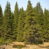 Бунин И.А. Густой зеленый ельник у дороги