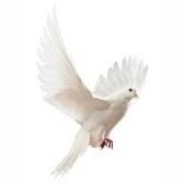 piccione - голубь