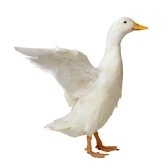Goose and chicken idioms