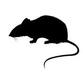 rat - крыса
