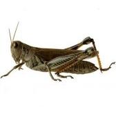 grasshopper - кузнечик