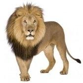 lion - лев