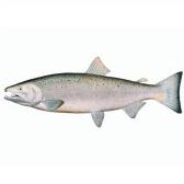salmone - лосось