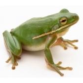 rana - лягушка