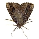 moth - моль
