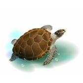 tartaruga - морская черепаха