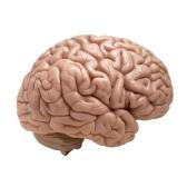 cerebro - мозг