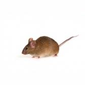mouse - мышь
