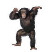 scimmia - обезьяна