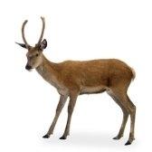 ciervo - олень