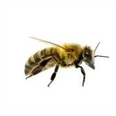 ape - пчела