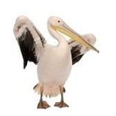 pellicano - пеликан