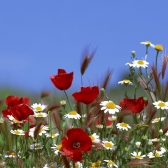 Бунин И.А. Полевые цветы