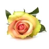 róża - роза