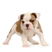 pentu - щенок