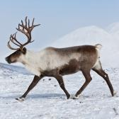 peura - северный олень