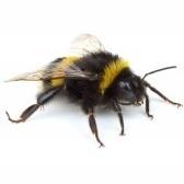 bumble-bee - шмель