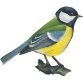 cinciallegra - синица