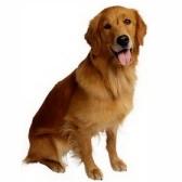 koira - собака