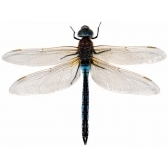 libellula - стрекоза