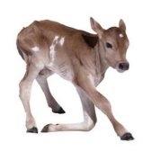 calf - телёнок