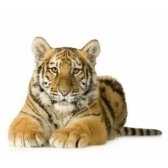 tiger - тигр