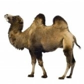 camel - верблюд