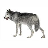 lobo - волк