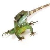lizard - ящерица