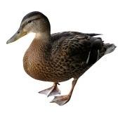 anatra - утка