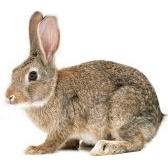 liebre - заяц